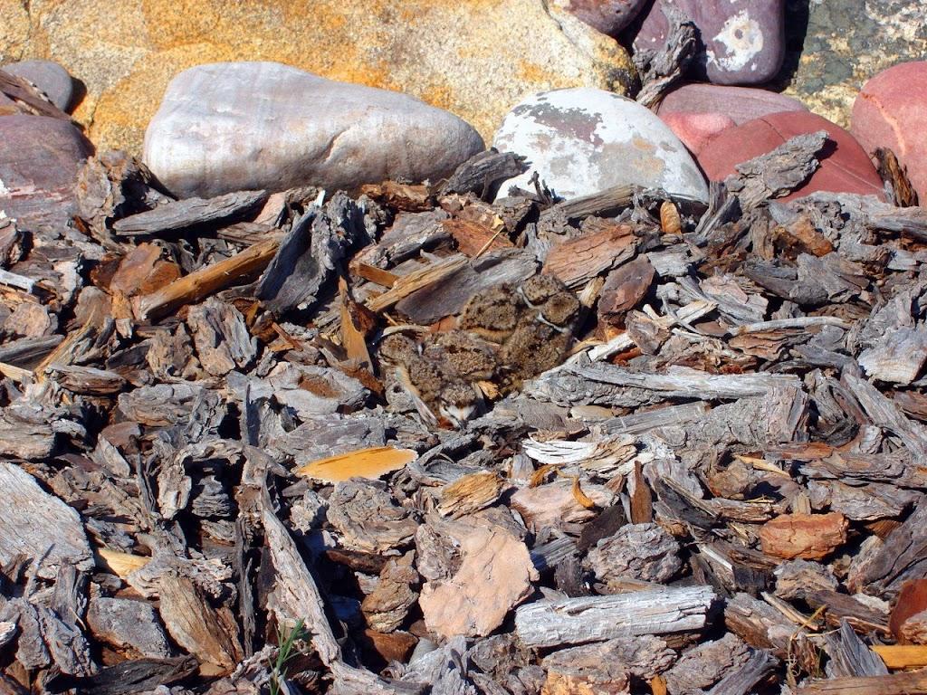 Killdeer chicks in their camouflaged nest.
