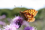 Skovperlemorsommerfugl.5.jpg