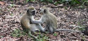 Vervet Babies, Zambia