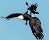 Antara Burung Elang, Gagak dan Indra Catri