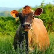 К чему снится рыжая корова?