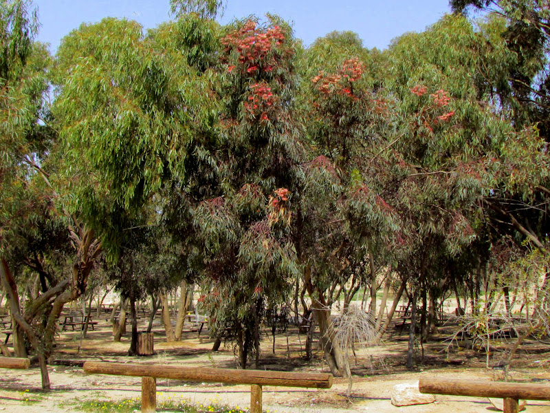 Картинки по запросу Эвкалиптовые деревья в Израиле  (Liveinternet.ru)