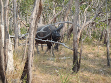 Big bull curiously approaching. This bull is tilting his head to fit through the trees.