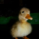 Duckling-Caneton
