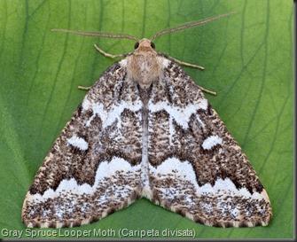 6863 Gray Spruce Looper Moth (Caripeta divisata)