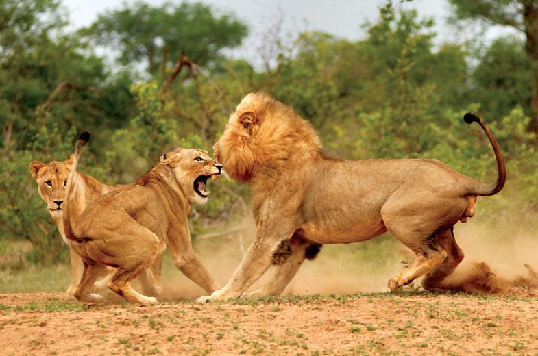 Kruger Park lion and lionesses