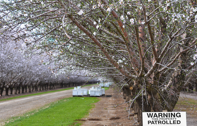 Between January and March, beekeepers send millions of hives to California to pollinate almond trees. A sign in this almond orchard warns it is patrolled — a measure to combat rising beehive thefts. Photo: Barbara Rich / Getty Images
