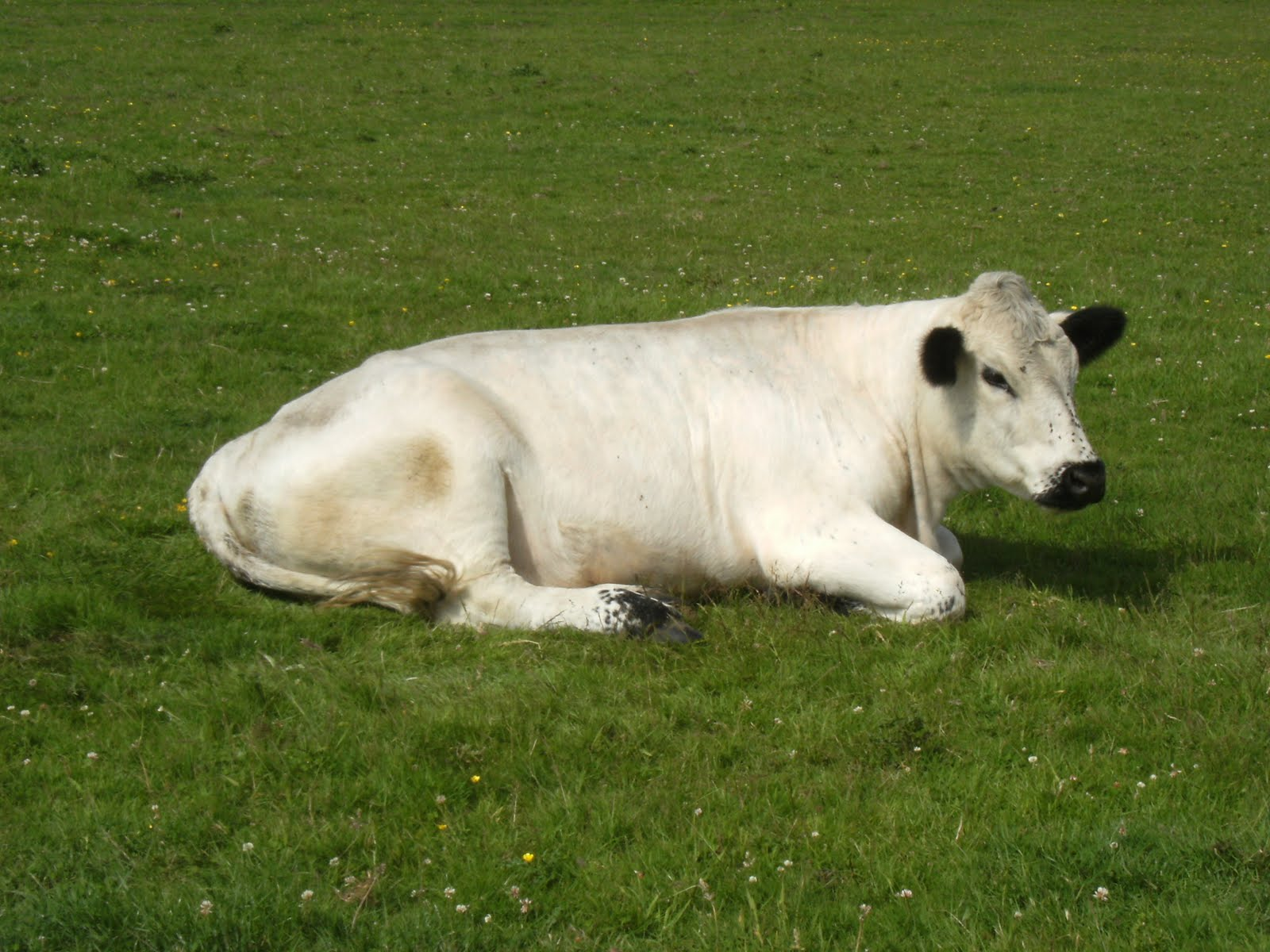 DSCF8845 White cattle, Pulborough Brooks