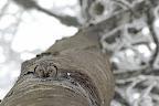 TROUVEE !   La chouette de Tengmalm est une petite chouette de montagne qui habite les loges abandonnées de pics noirs