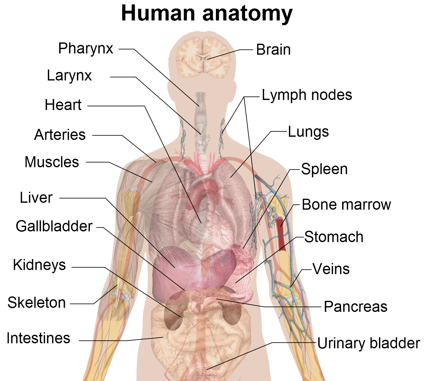 know-your-body-parts: Human Anatomy - Photo and names