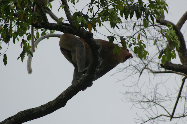 Proboscis ou nasique mâle (Nasalis larvatus WURMB, 1787). Sukau (Sabah, Malaisie, Bornéo), 3 août 2011. Photo : J.-M. Gayman