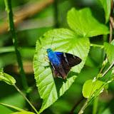 Astraptes fulgerator azul (Reakirt, [1867]). Mount Totumas, 1850 m (Chiriquí, Panamá), 25 octobre 2014. Photo : J.-M. Gayman