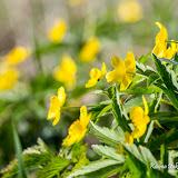 Ветреница лютичная (Anemone ranunculoides)