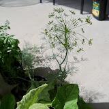 Gardening 2011 - 101_0029.JPG