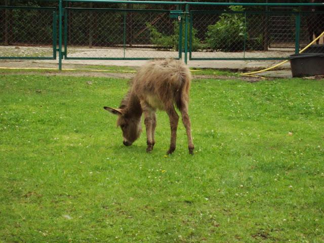 Mały osiołek w Starym Zoo