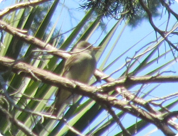 7 Eastern Wood Pewee Bird