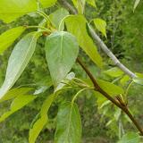 Balsam Poplar - mature leaves