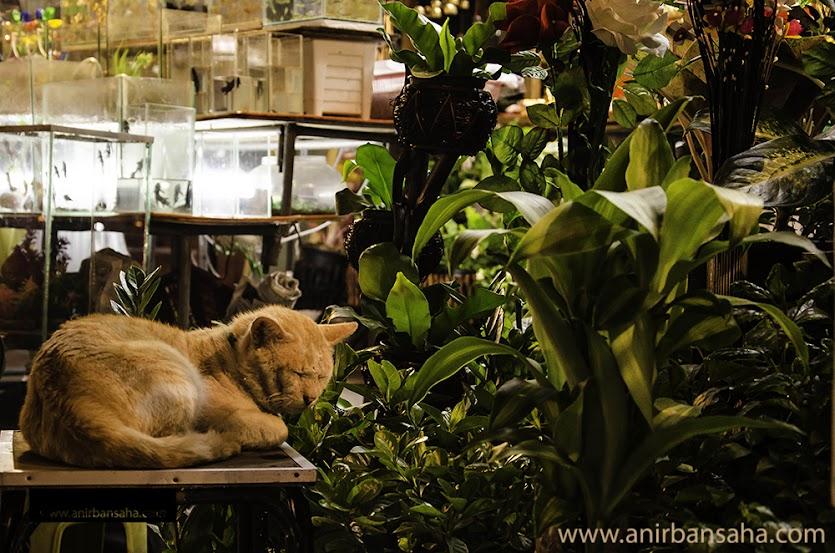 Cat,Bangkok