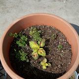 Gardening 2010, Part Two - 101_3125.JPG