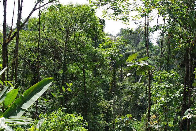 La forêt du Choco à Durango (San Lorenzo, Esmeraldas) : biotope de Morpho amathonte et M. niepelti. 29 novembre 2013. Photo : J.-M. Gayman