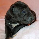 Available black female #4 @ 3 weeks
