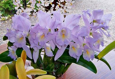 Растения из Тюмени. Краткий обзор - Страница 2 Cattleya%252520Sea%252520Breeze%252520Fellraths%252520Pride
