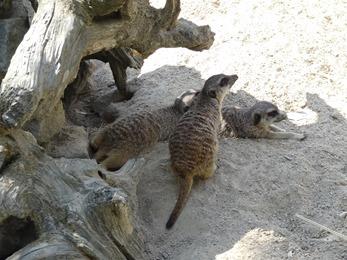 2018.06.30-047 suricates