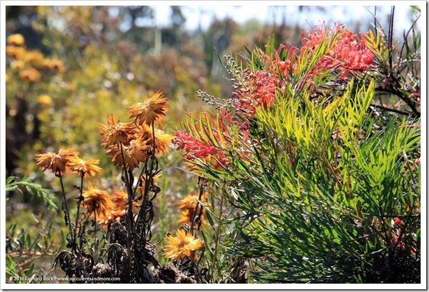 160813_UCSC_Arboretum_Grevillea-Superb_007