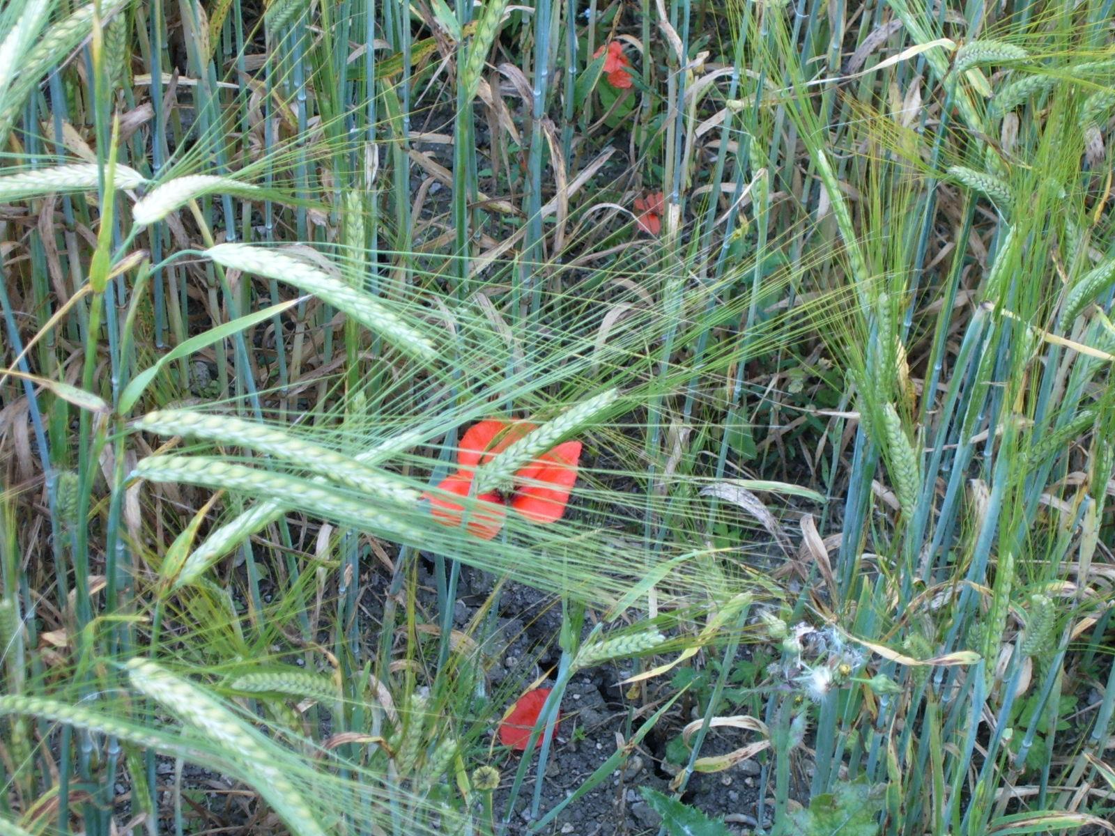 walk 29 am poppy amongst wheat.JPG