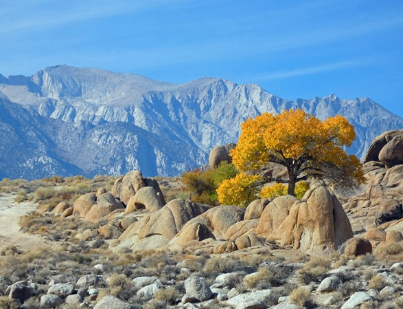 Tree in Alabama Hills