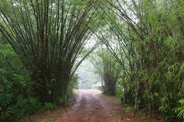 Bambous. Auberge des Orpailleurs (RN2), 27 octobre 2012. Photo : J.-M. Gayman