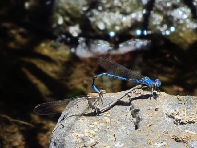 dragonflies at it