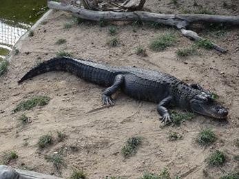 2018.08.25-057 alligator