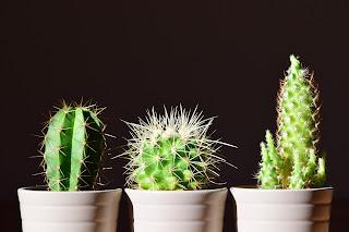 3 spikey cacti in a row