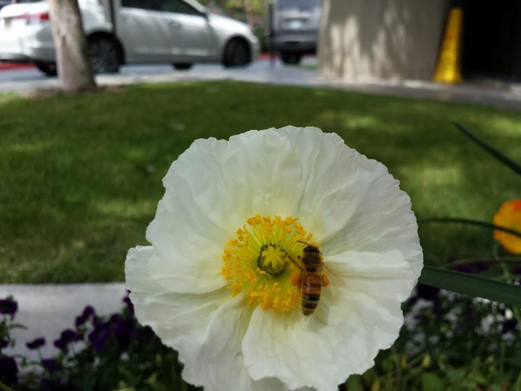 ผึ้งน้อยยามบ่ายแบกเกสรดอกไม้