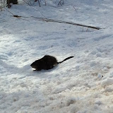 "March Muskrat ""on the prowl"" (Tracey Carr)"