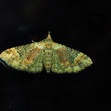 Geometridae : Larentiinae : Eupitheciini : Chloroclystis sp.; probablement Chloroclystis metallospora TURNER, 1904. Umina Beach (New South Wales, Australie), 25 mars 2011. Photo : Barbara Kedzierski