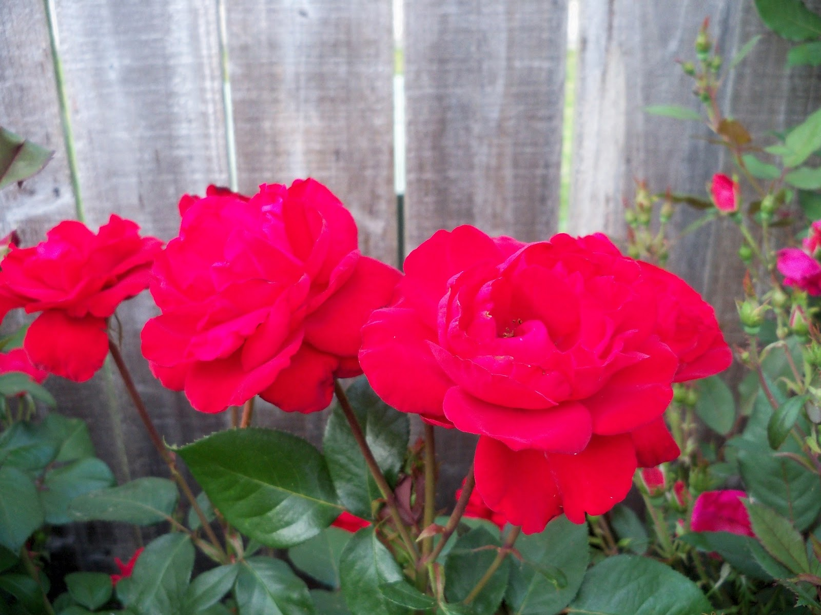 Gardening 2011 - 100_7742.JPG