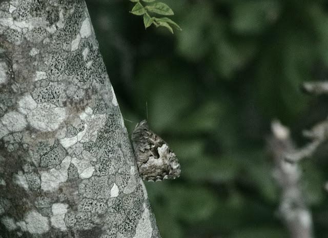 Hipparchia alcyone (DENIS & SCHIFFERMÜLLER, 1775). Tras le Mont, 820 m, Cocurès (Lozère), 10 août 2013. Photo : J.-M. Gayman