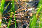 Brun mosaikguldsmed, hun der lægger æg, Hundesøen, ved Kongskilde, Sorø, 1-9