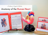 How to Teach the Anatomy of the Human Heart to Kids