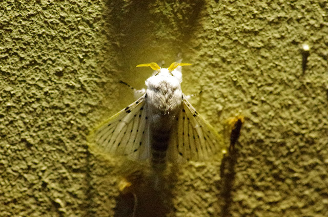 Lasiocampidae : Macromphaliinae : Artace cribraria (LJUNGH, 1825). Valle de las Minas, Hornito, cordillère de Talamanca, 1100 m (Chiriquí, Panamá), 27 octobre 2014. Photo : J.-M. Gayman