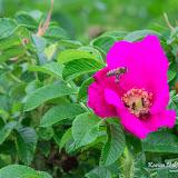 Пчела на шиповнике (Anthophila sp.)