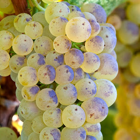 Chardonnay by Manuel Balesteri - Food & Drink Fruits & Vegetables ( chardonnay, grapes, vine, pwcfruit, stem )