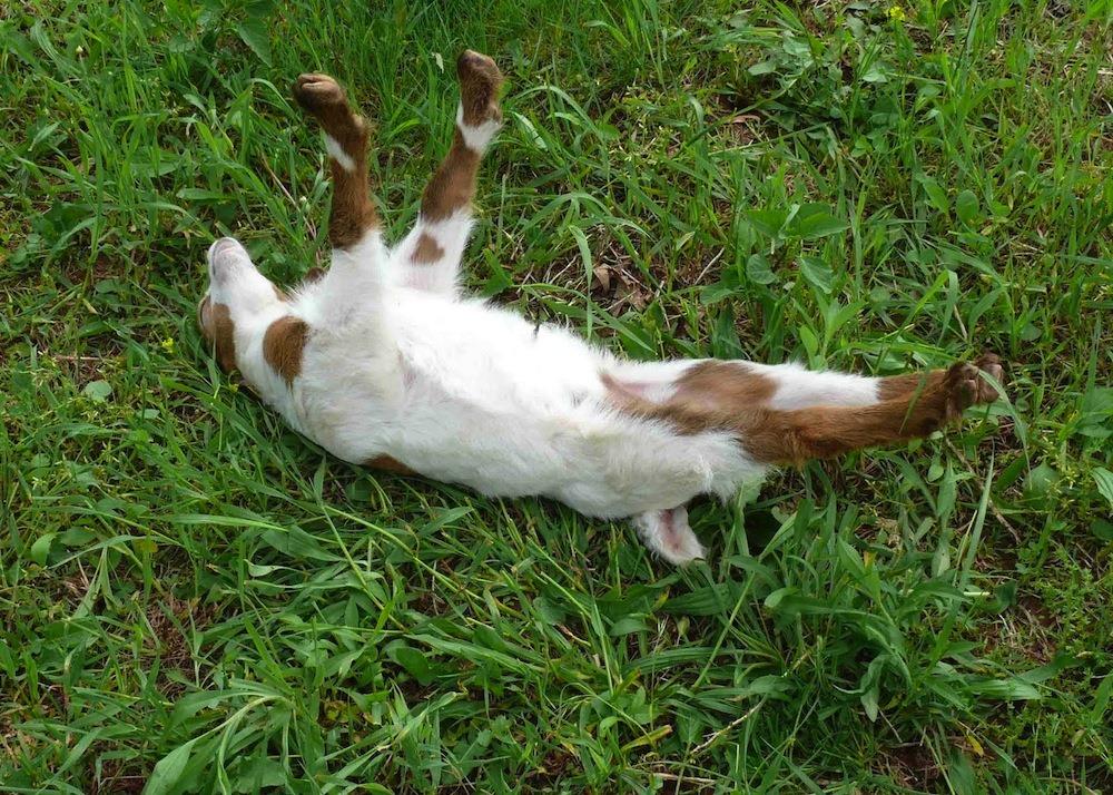 fainting-goat-3