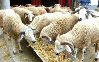 Aïd El-Adha: 456 points de vente de bétail à travers 33 wilayas à compter du 1er septembre