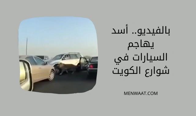 أسد يهاجم السيارات في شوارع الكويت, غرائب, عجائب