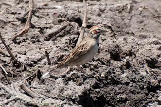 Photo: Lark Sparrow (Rainammer); San Miguel de Allende, GTO
