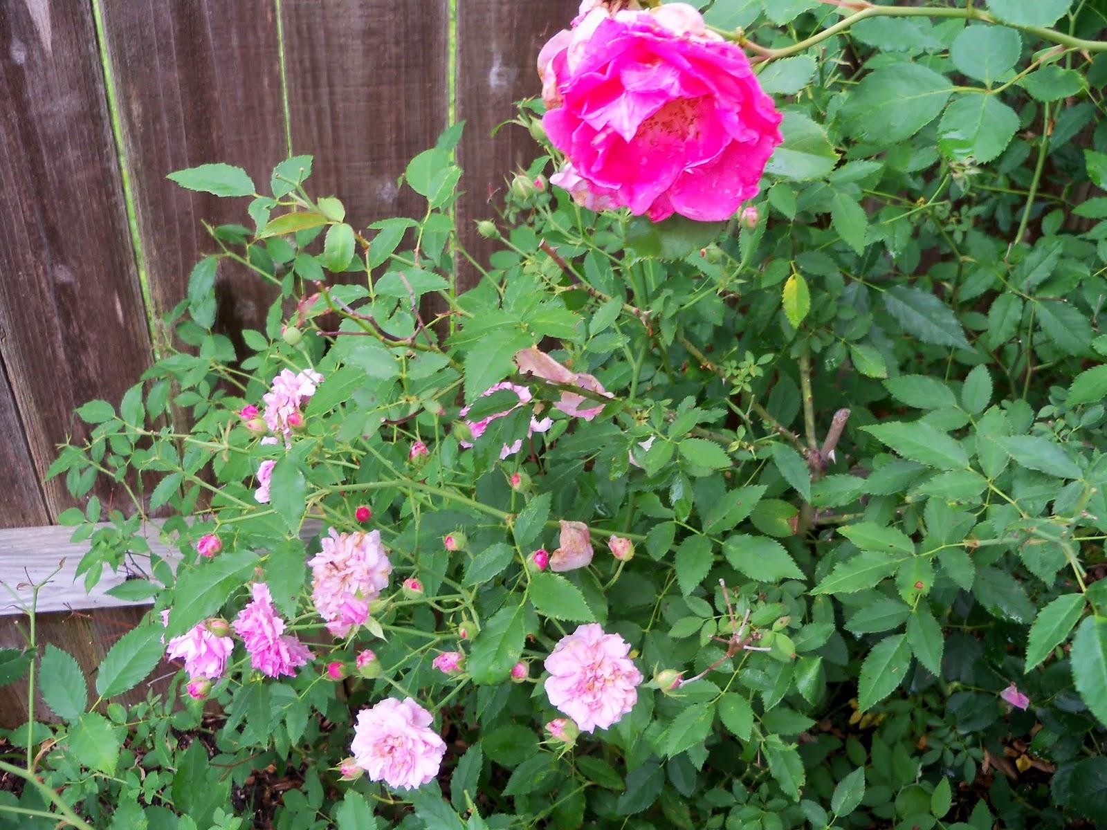 Gardening 2014 - 116_2615.JPG