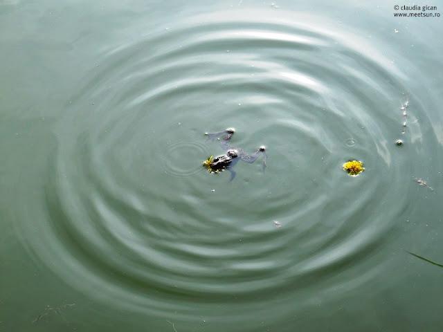 broasca, papadia si apa in cercuri